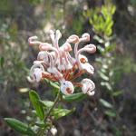 Grey Spider Flower (Grevillea Buxifolia) (230404)