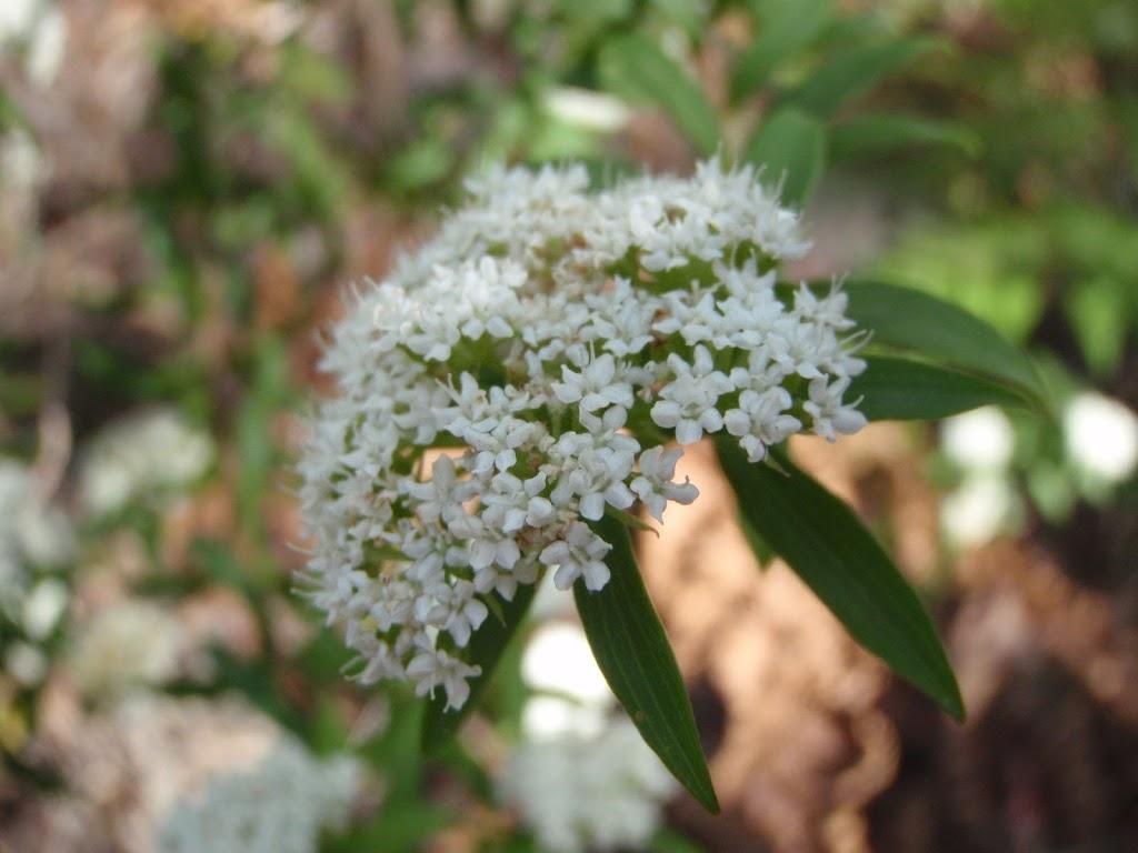 Native Parsnip flower (Platysace lanceolata) (233325)