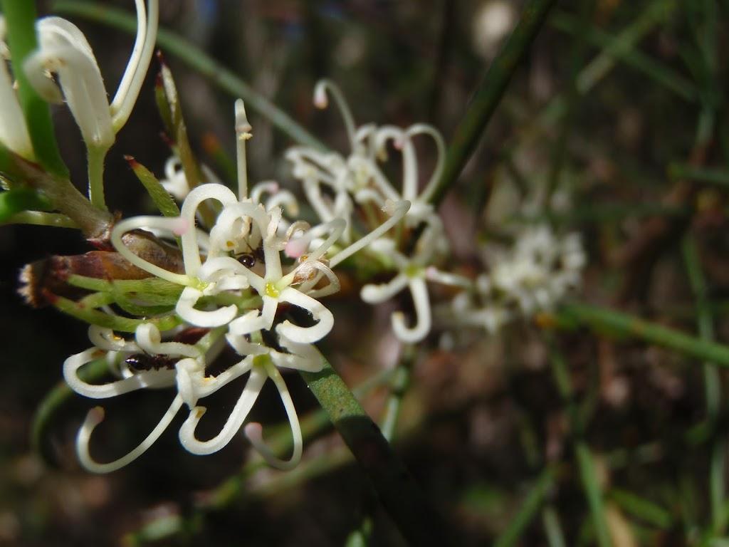 Needlebush (Hakea sericea)