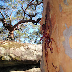Gum tree and boulders