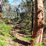 Lovely forest of Ferns and gums (238643)