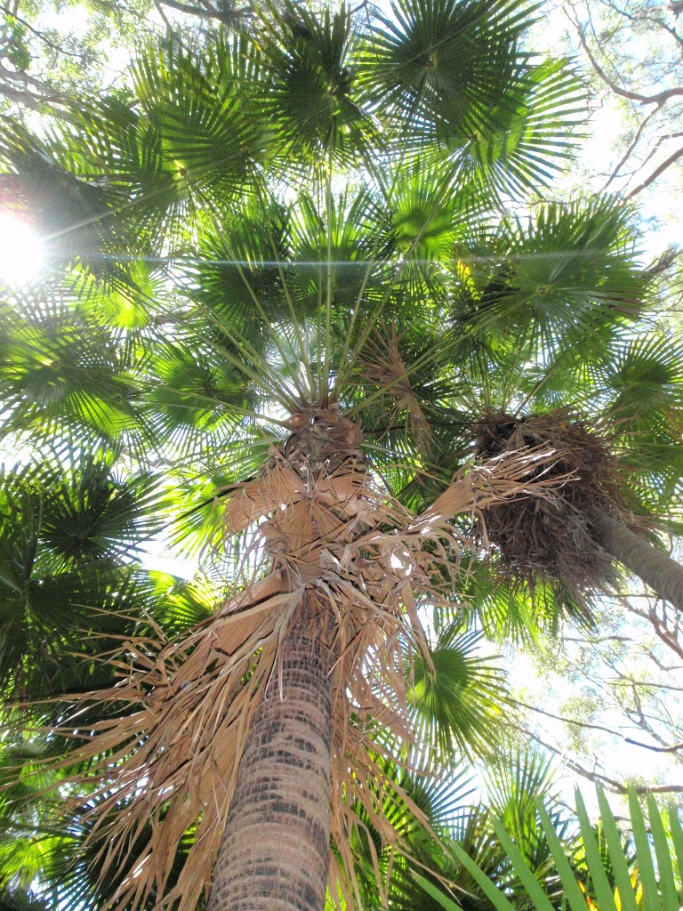 Looking up a tall Palm Tree