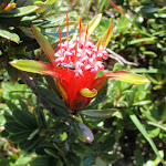 Lambertia formosa (Mountain Devil) (249217)