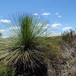 A grass tree on the Grass Tree Track