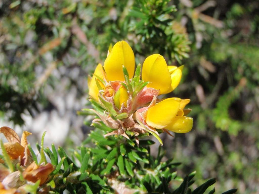 Pea Flower (250039)