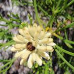 Wildflower (250042)