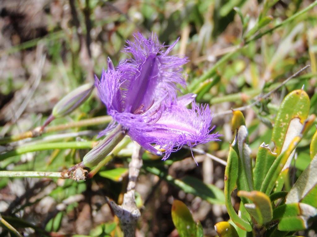 Thysanotus tuberosus (Common Fringe Lily) (250096)