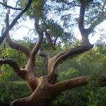 Twisted tree (25415)