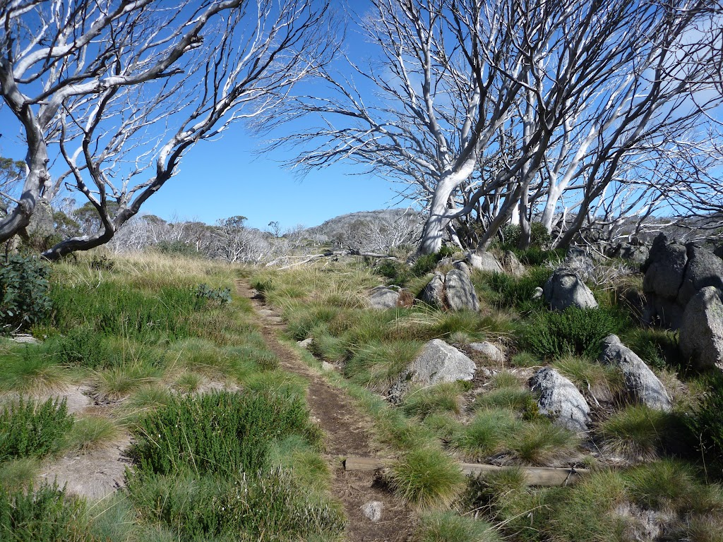 Walking up through the dead snow gums