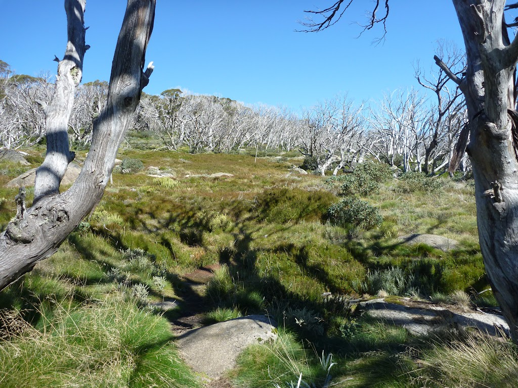 A forest of dead snow gums