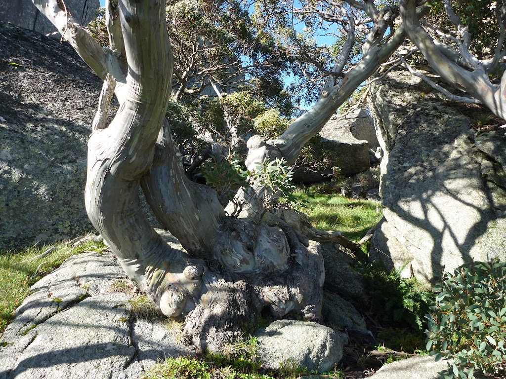 Snow gum nestled below Porcupine Rocks (264023)
