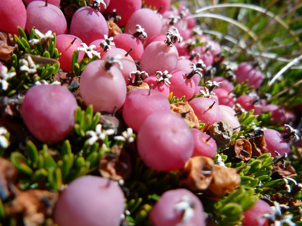 Close up of some Alpine berries