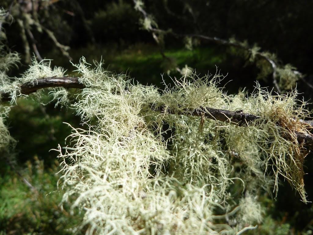 Usnea australis (278357)