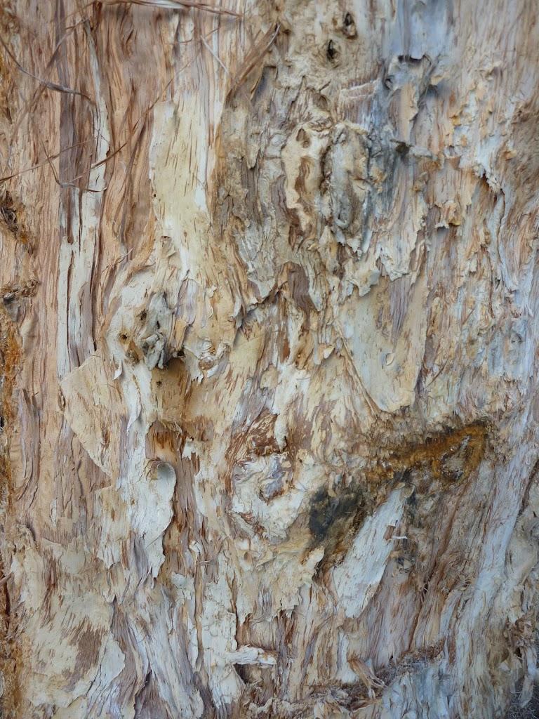 Paper bark trees