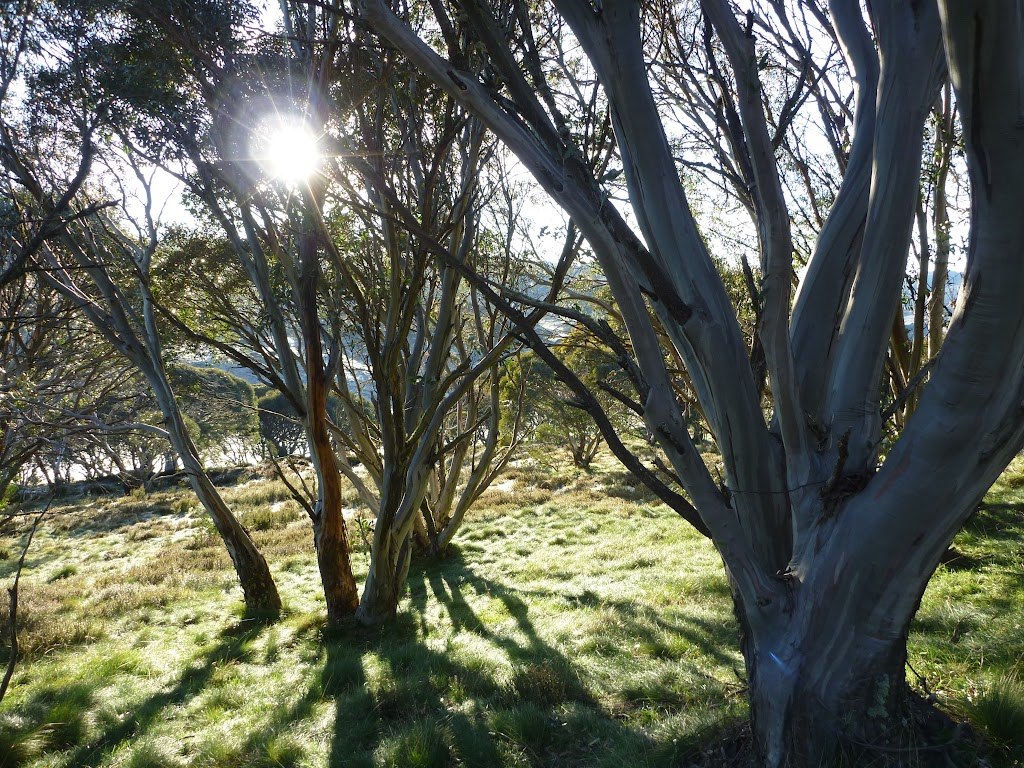 Snow gums beside the Cascade Trail