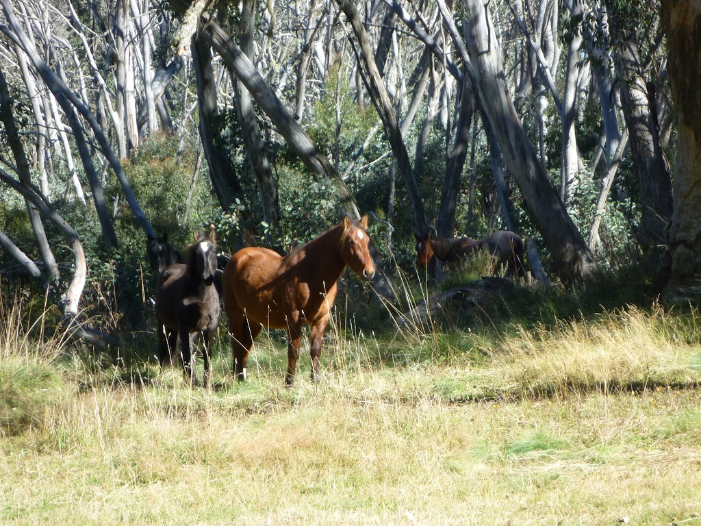 Brumbies at Cascade Hut (282368)