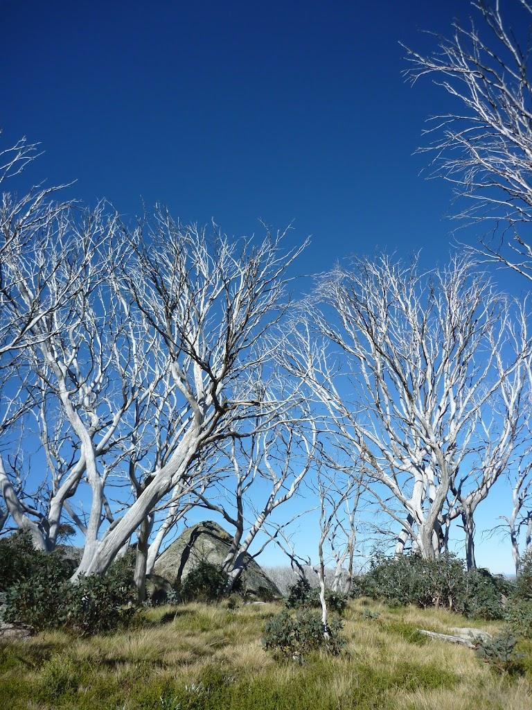 Grove of dead gums
