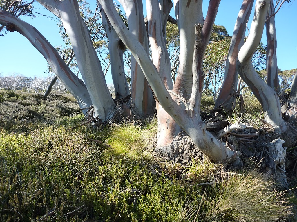 Snow gums neat Schlink Hut (286839)
