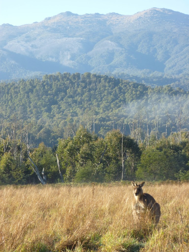 Kangaroo at Behrs Flat (292048)