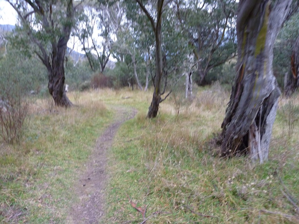 Winding through the open forest on the bank of the Thredbo River