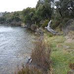 Grassy edge of the Thredbo River (296318)