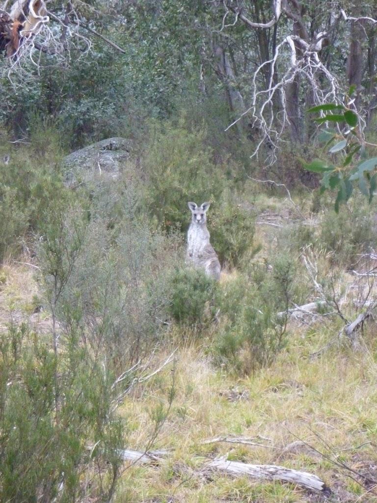 Local kangaroo saying G'day
