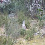 Local kangaroo saying G'day (296780)