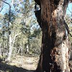 Grand burnt tree (297092)