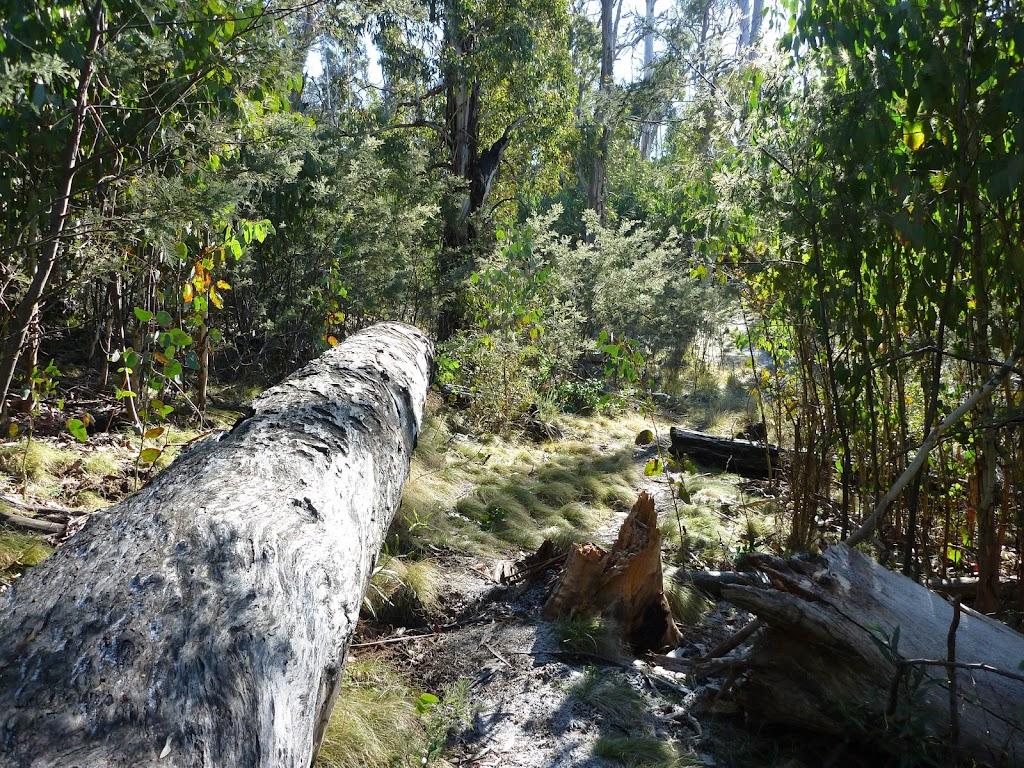 Fallen tree beside track