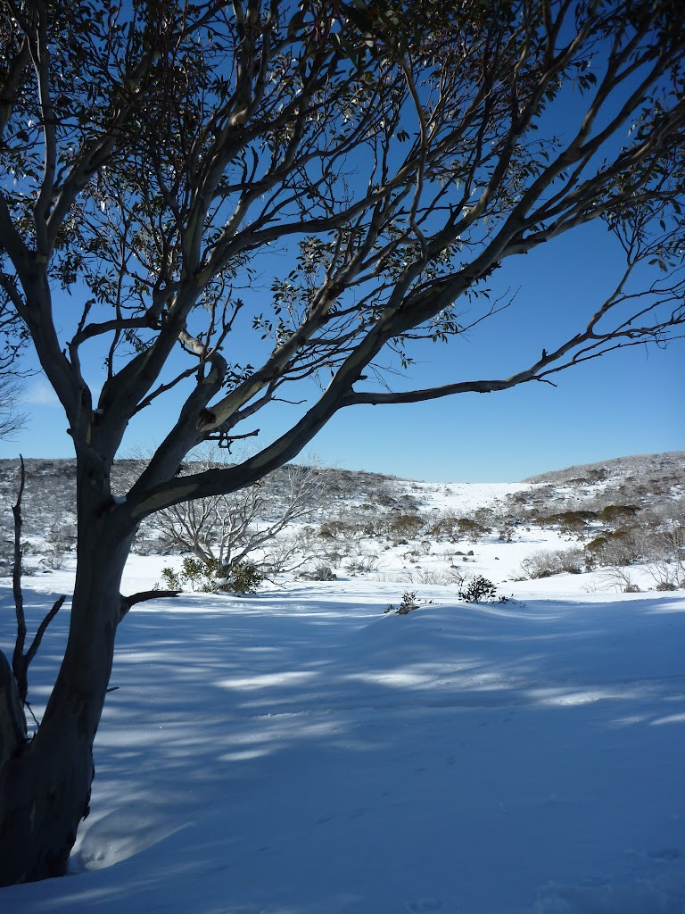 In the shade of the snow gum