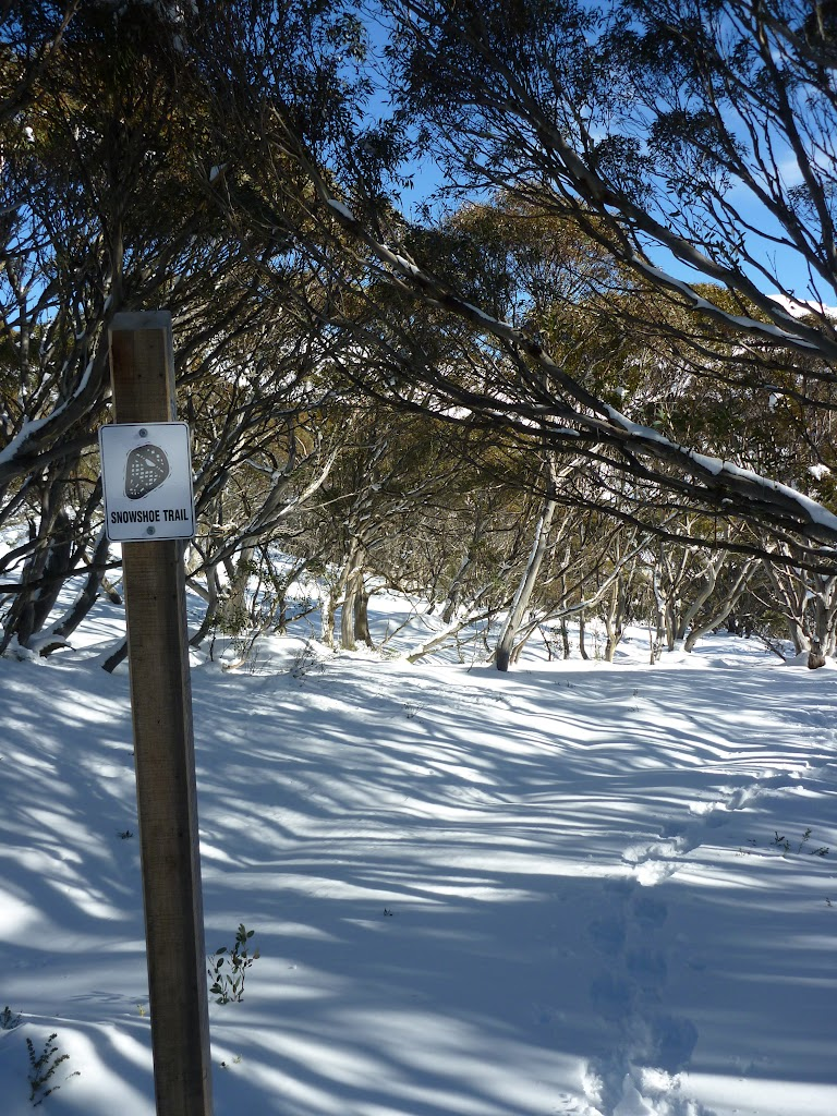 Snowshoe trail leading through forest of snow gums