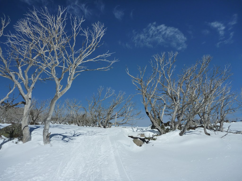 Walking amoung the snow gums
