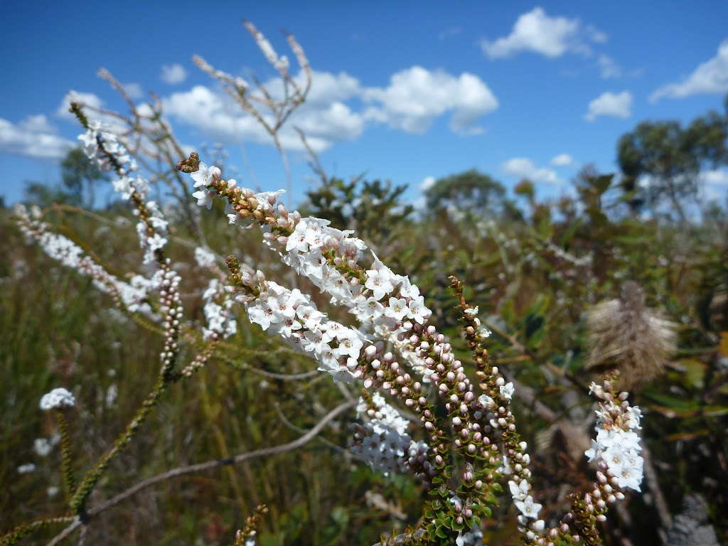 Coral Heath (Epacris microphylla) in early spring on Elvina Track (304125)