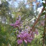 Pink Spider Flwoer (Grevillea sericea) in spring on Elvina Track