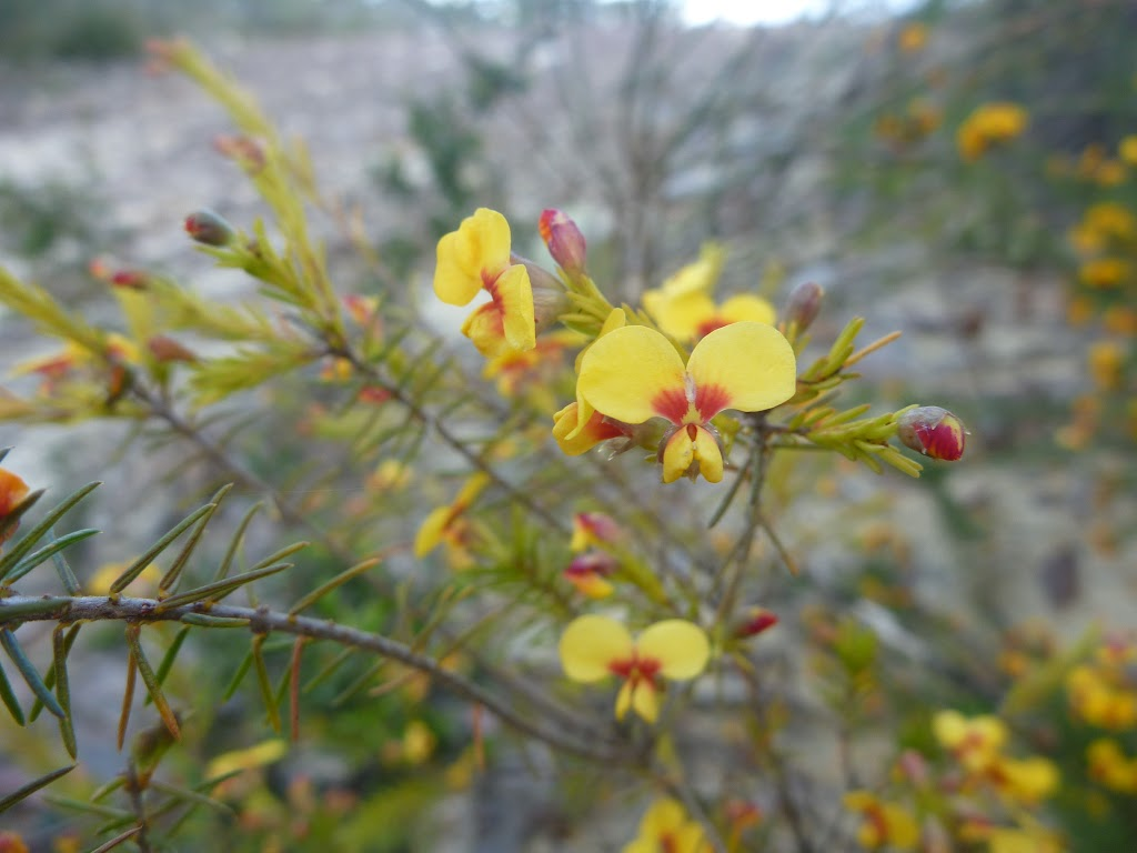 Wildflower (Dillwynia elegans) on Elvina Track (304242)