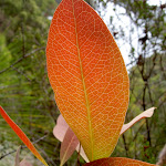 Leaf (30554)