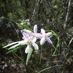 Wildflower - Pink Wax Flower (Eriostemon austrlis) (305762)