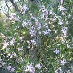 Wax Flowers (Eriostemon australis) on Wilkins Track