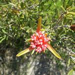 Lambertia formosa (Mountain Devil) along the Marley Head Bushtrack (30904)