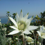 Flannel Flowers in Botany Bay National Park (309425)