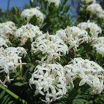 Slender Rice Flowers (Pimelea linifolia) near Cruwee Cove (309893)