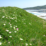 Wildflowers (Pigface) on Cape Banks in Botany Bay National Park (310139)