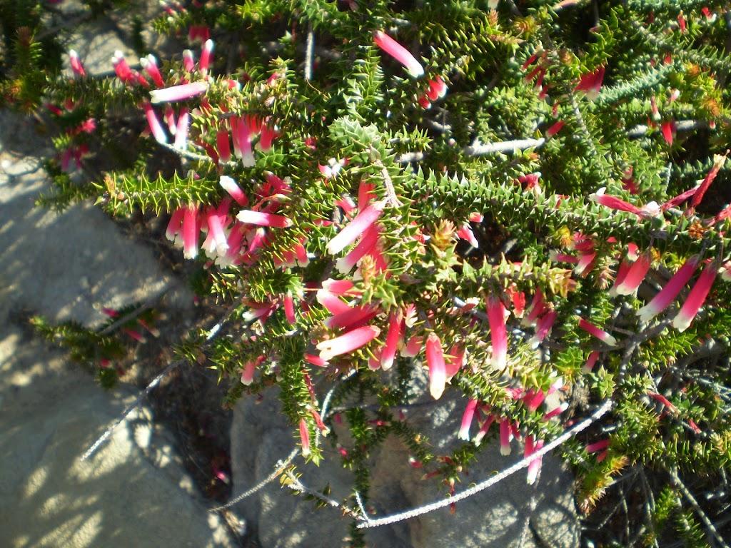 Prickly Epacris Longiflora