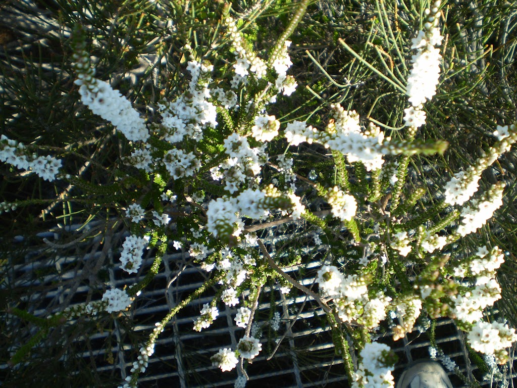 White flowers in the heath