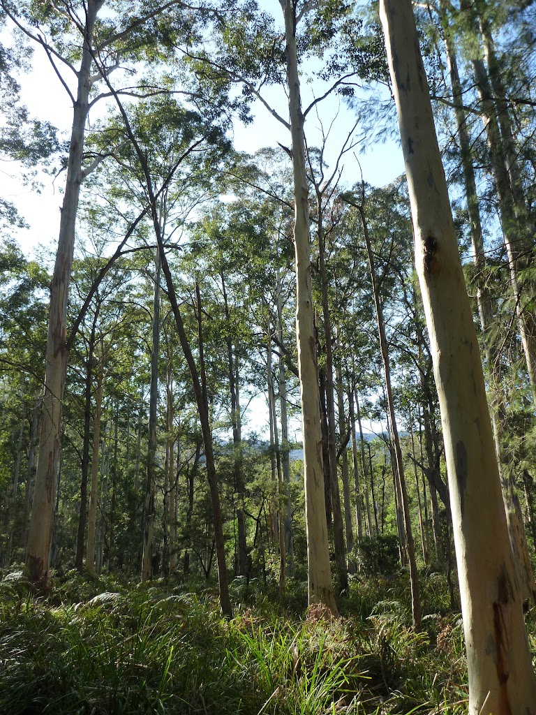 Tall forest near the Kedumba River