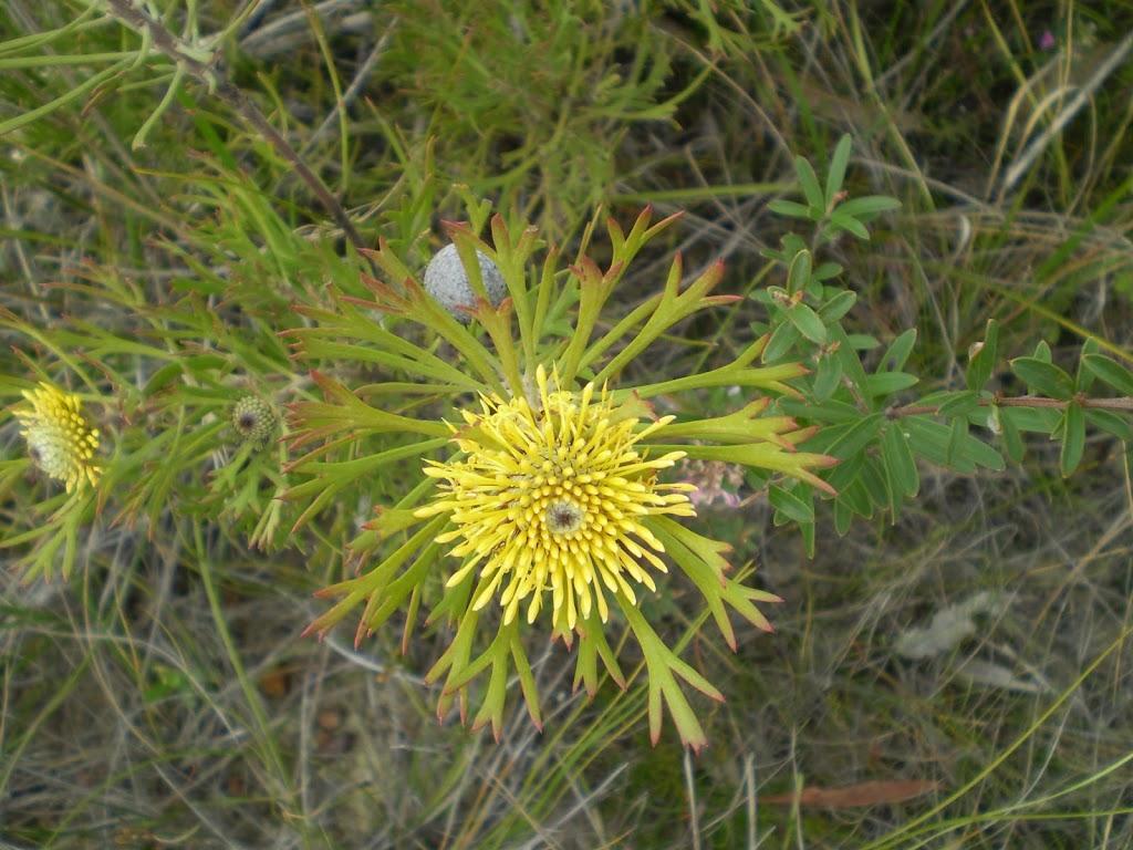 Isopgen Anemonifolius (broad leaf drumstick) (31669)