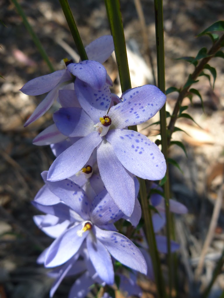 Spotted Sun Orchid (Thelymitra ixioides) on the Subline Point Trail (318110)