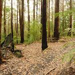Forest near Cooranbong (320114)