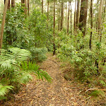 Forest and track near Muirs Lookout