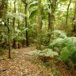 Moist rainforest near Muirs Lookout in the Watagans (320252)